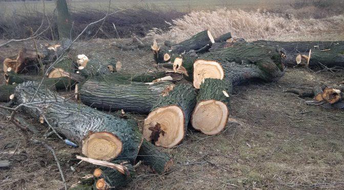 Rzeź drzew w Dzierżoniowie